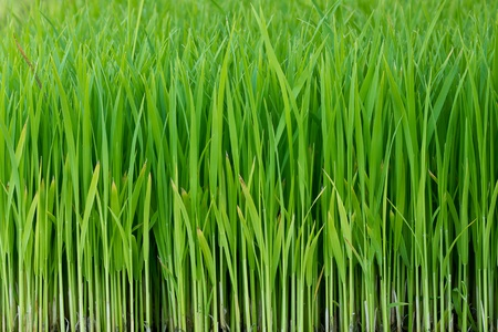 Young green paddy plant suitable background