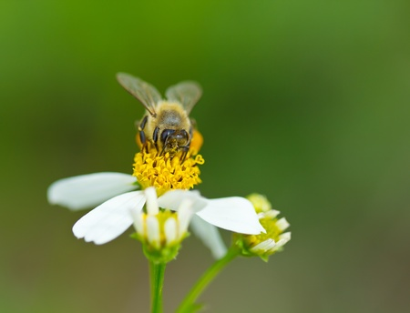 honey bee collects flower nectar photo