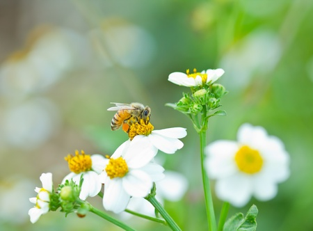 honey bee collects white flower nectar Stock Photo