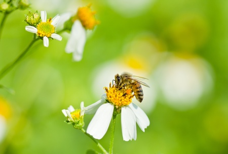 bee collecting honey on white flower Stock Photo