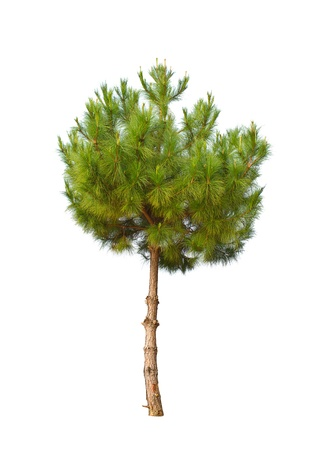 small pine tree isolated on white Stock Photo