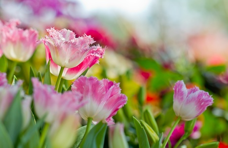 colorful tulip flowers in beautiful garden Stock Photo