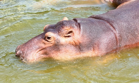 Hippopotamus in the water photo