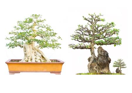 thai Bonsai Tree on white background