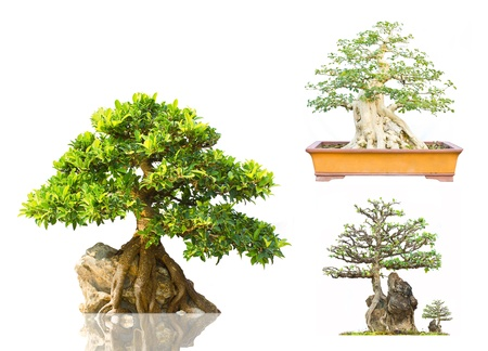 Thai Bonsai on Display white background photo