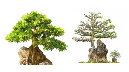 Bonsai on Display white background