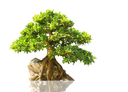 miniature people: Japanese Evergreen Bonsai on Display white background Stock Photo