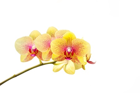 fresh yellow orchid flower photo