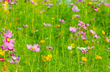 colorful of daisy flowers background photo