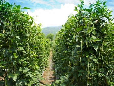 fresh yard long bean farm Stock Photo - 14363300