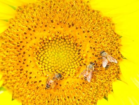 honeybee collects flower nectar from sunflower