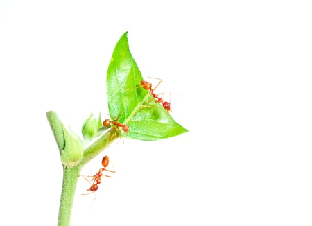 orange ant stay on top green leaf  with white background