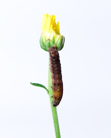 after worm eat young yellow flower on white background