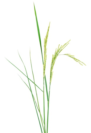 crop  stalks: fresh rice plant isolated on white background