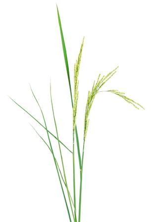 cebada: planta de arroz fresco aislado en el fondo blanco