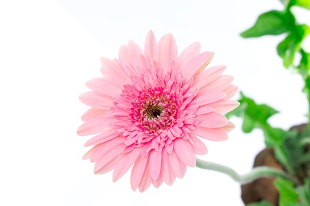 pink gerber flower isolated on white background Stock Photo
