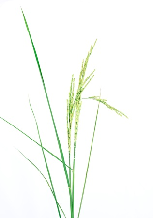 fresh rice plant isolated on white background photo