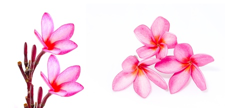 frangipani or plumeria tropical flower isolated on white background Stock Photo