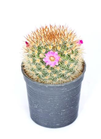Cactus on pot isolated on white background Stock Photo
