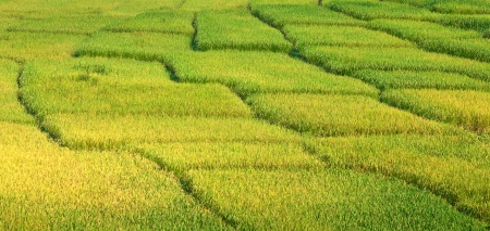 beautiful yellow rice paddy field in Thailand photo