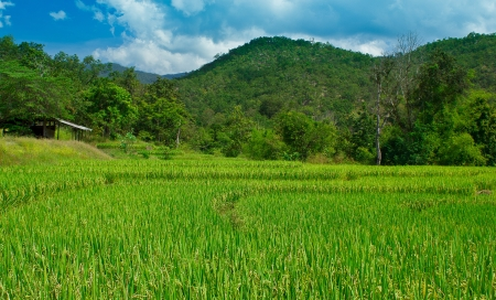 Beautiful yellow rice paddy field