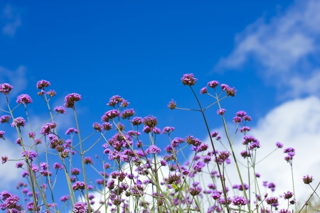 Lavender herb blooming in a garden with blue sky photo