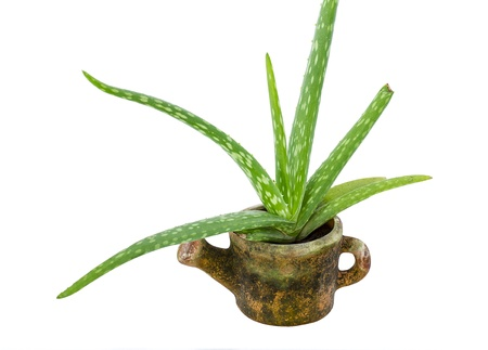 fresh aloe vera in pot isolated on white background Stock Photo - 17432657