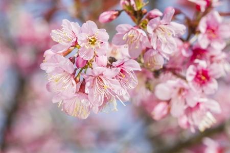 Sakura flowers blooming blossom in Chiang Mai, Thailand Stock Photo