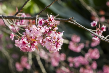 pink blossom of sukura flowers in Thailand Stock Photo - 17683779