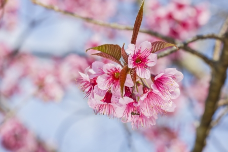 pink Prunus cerasoides flower in Chiangmai, Thailand Stock Photo