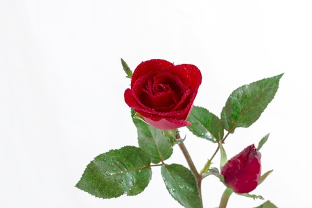 red rose isolated on white background with water drop