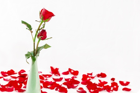 red rose isolated on white background with water drop photo