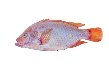 nile tilapia: fresh mango fish isolated on white background