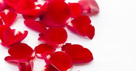 fresh petals rose on white isolated background photo