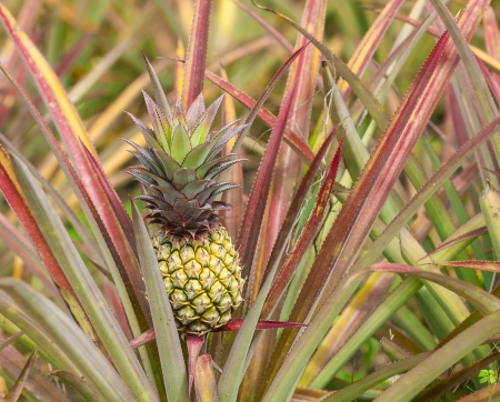 Fresh tropical pineapple on the tree in farm Stock Photo