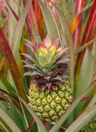 colorful of the little pineapple in the farm Stock Photo - 17683914
