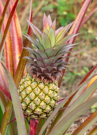 colorful of the little pineapple in Thailand