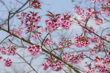 Branch with pink sakura blossoms  Natural background Stock Photo