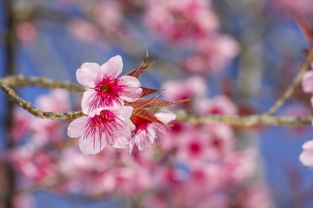 Sakura flowers blooming blossom in Chiang Mai, Thailand photo