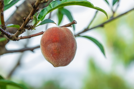 Ripe peaches fruit on a branch in orchard Stock Photo