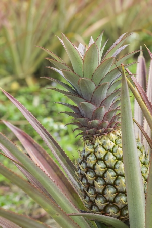 colorful of the little pineapple in the farm Stock Photo - 18115921