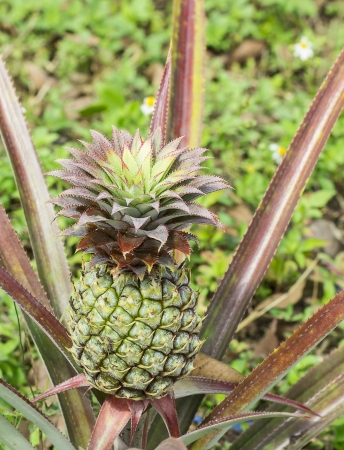 green of the little pineapple in the farm