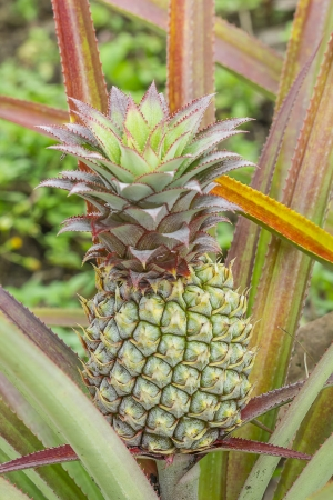 Pineapple on the plant tropical fruit in nature, Thailand.