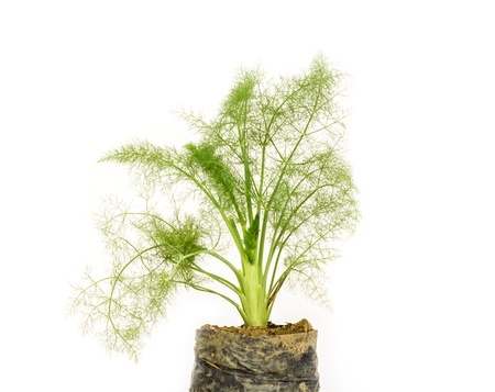 fresh dill herb isolated on white background Stock Photo - 18870955