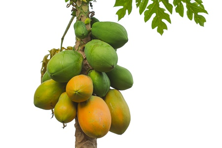 papaya tree isolated on white background photo