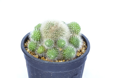 cactus isolated in pot on white background