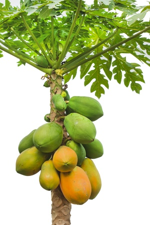 fresh papaya tree with bunch of fruits on white background photo