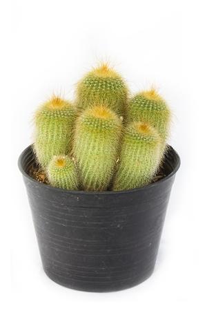 golden cactus isolated on white background