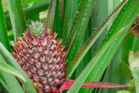 Close-up of red pineapple still on tree photo