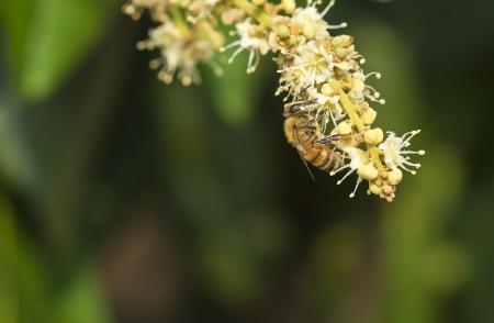 Funcionamiento de la abeja recoge n�ctar de las flores de la flor de longan Foto de archivo - 20461953